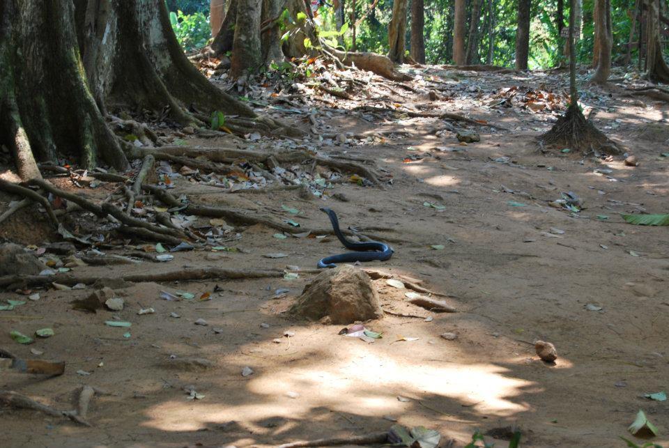Il cobra nella giungla thailandese