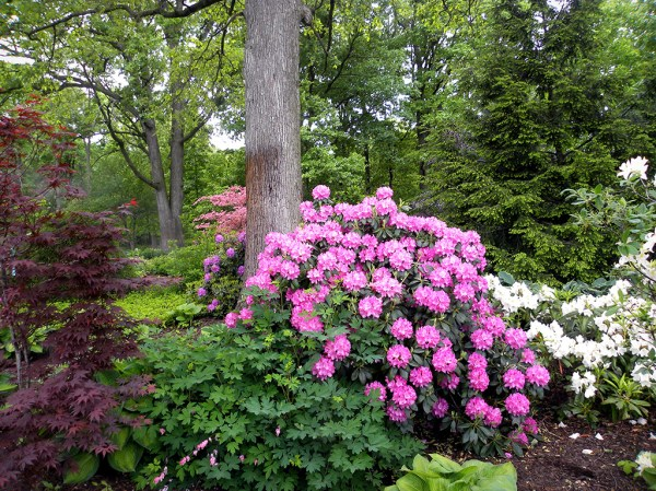 elegance & beauty rhododendron