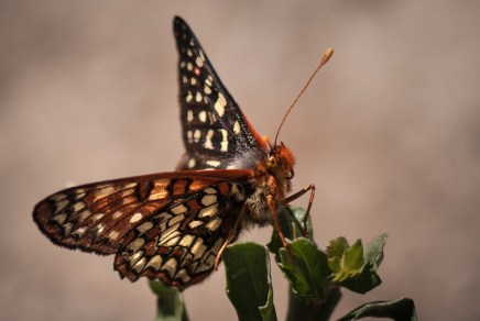 Checkerspot butterfly with a slightly wild eye