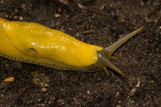 Slug stroll after rain