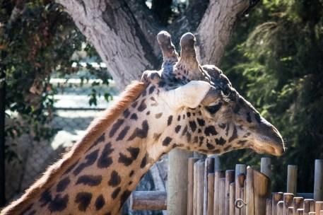 gregarious giraffe