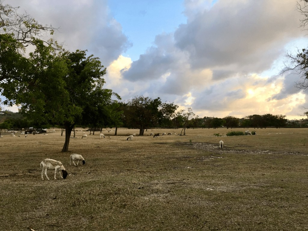 sheep in a grass field with trees at dusk