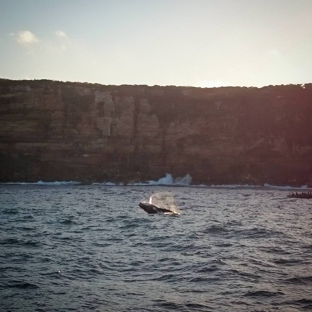 Whale breaching | Whale watching in Sydney | Photo by Lei Solera