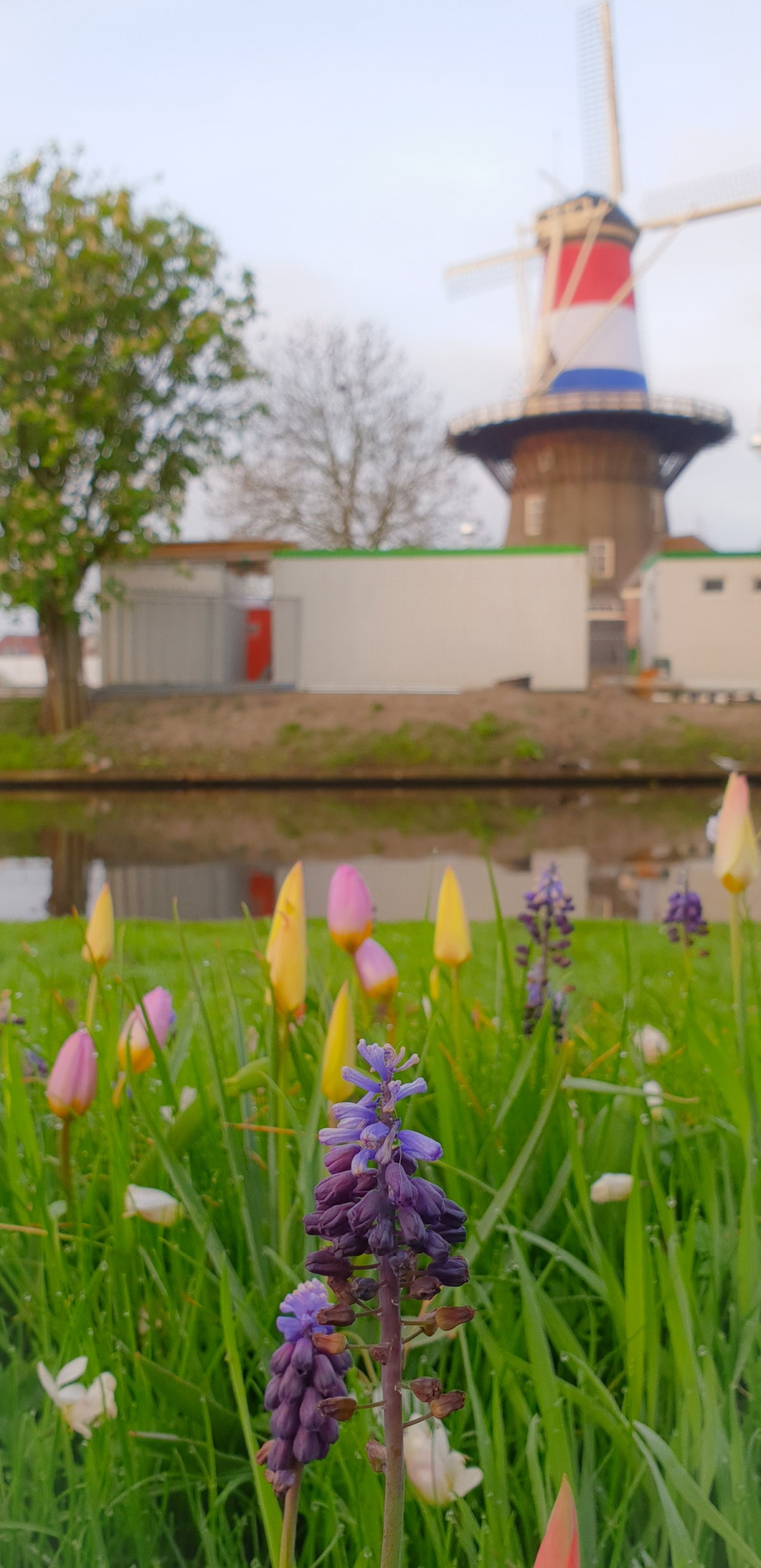 SGMT | Leiden | Tulips and windmills