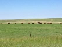 pretty cows