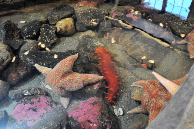 The aquarium touch tank at Fort Worden