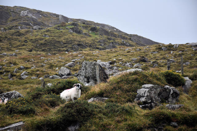 A lone sheep on Ballaghisheen Pass.