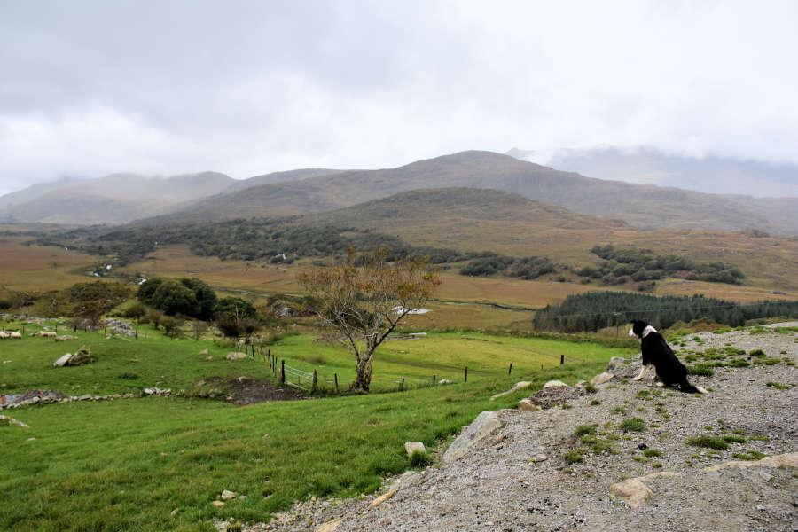 Kissane Sheep Farm sheepdog demonstration.
