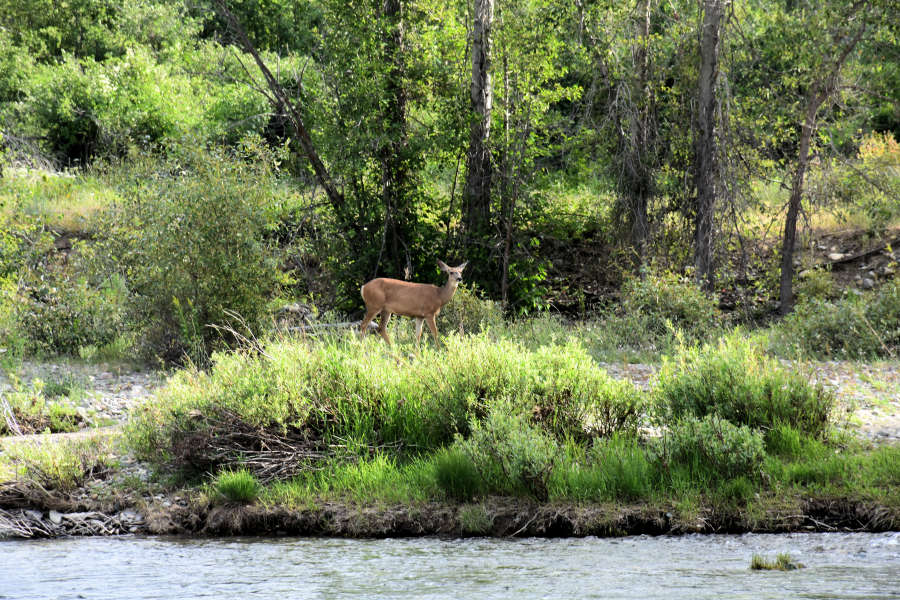 A deer along the Methow River in Washington State.