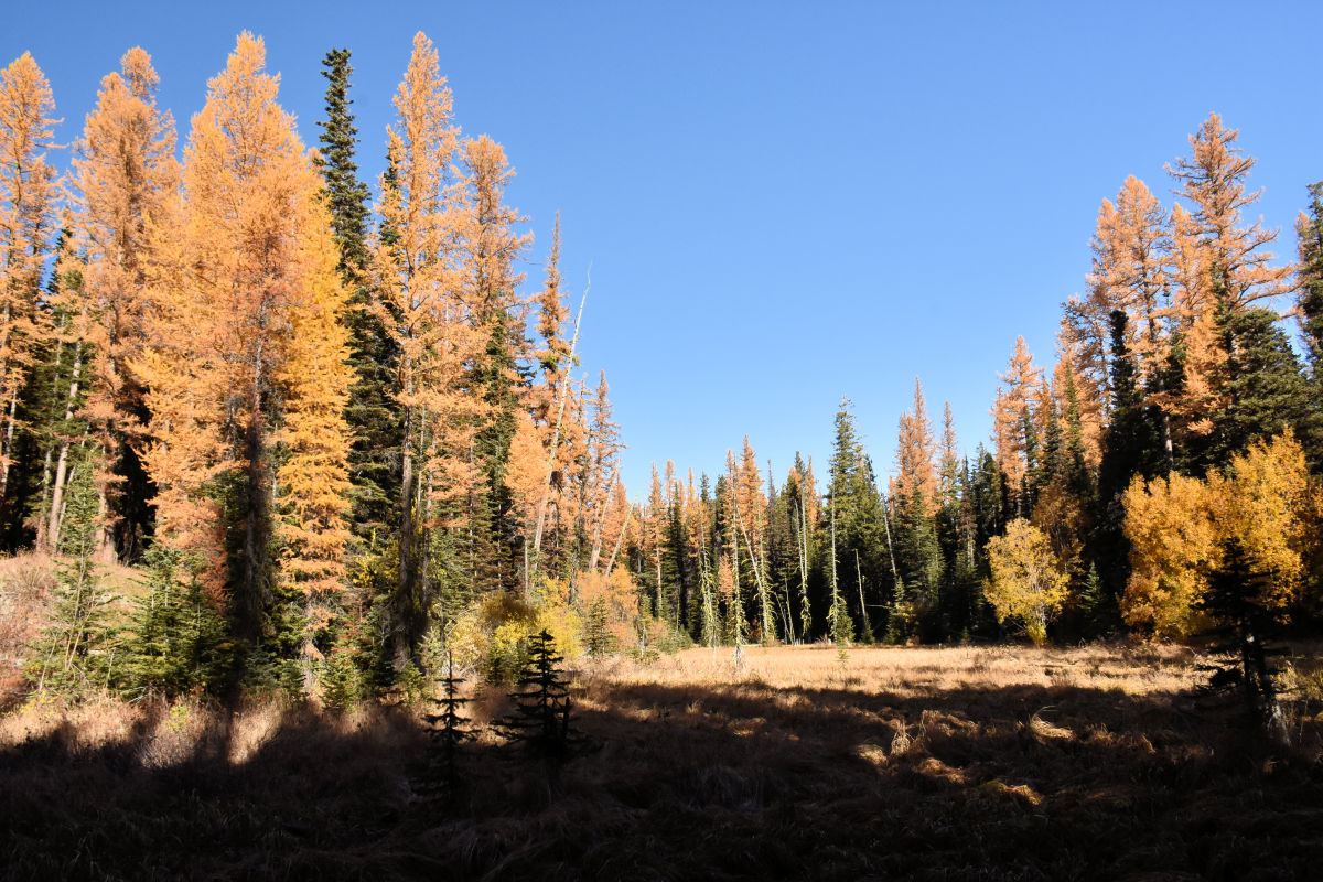 Larch trees in Wenatchee, Washington.