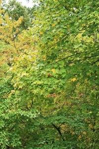1-red-leaf