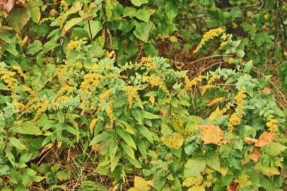 more-golden-rod