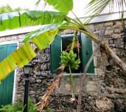 Banana tree outside the Great House