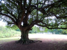 Great tree on the estate
