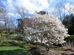 Halifax Public Gardens in May tree with flowers white petals