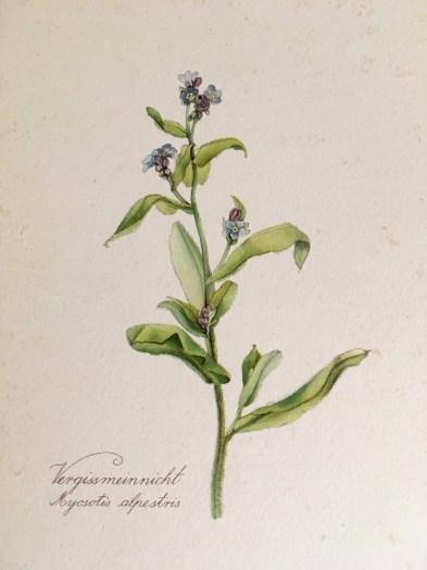Illustration from Blumen-Atlas (F. Herbig Verlag)