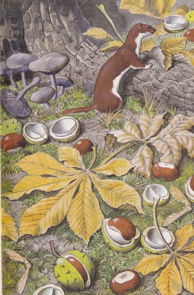 illustration showing a Weasel, chestnuts, sycamore 'spinners' and wood-blewit toadstool