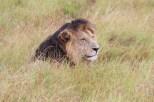 Naibor - black maned lion
