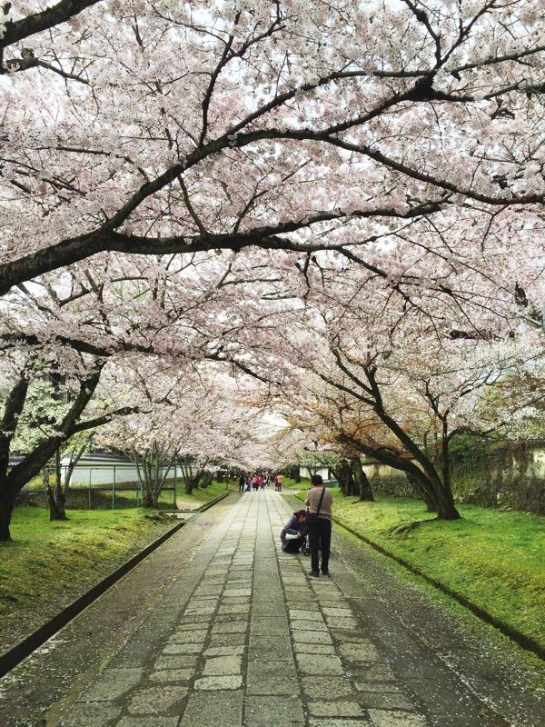 醍醐寺桜2016 2