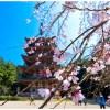 【観光】京都の無料で楽しめる、おすすめ花見スポット7選 2017年
