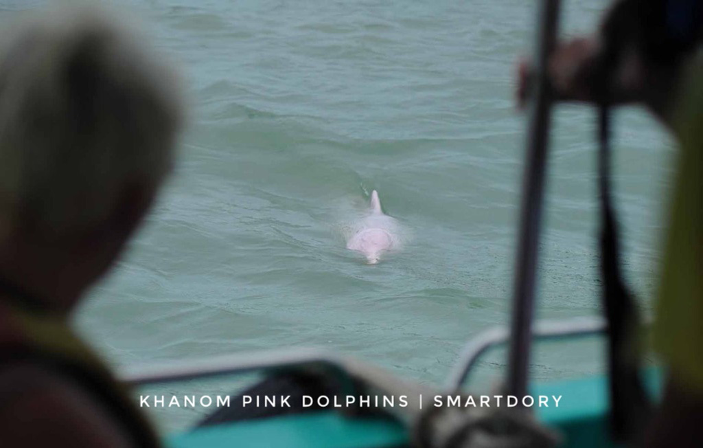 A pink dolphin swims towards a boat.