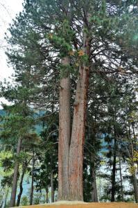 pinheiro amarelo ocidental de ponderosa 102716314