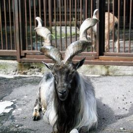 Some Facts and Questions About The Markhor
