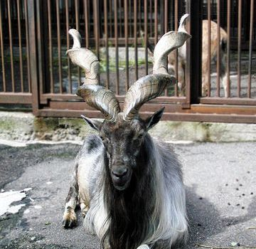 Some Facts and Questions About The Markhor 1