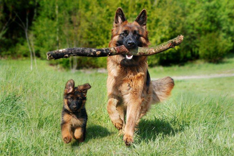 training german shepherd puppy and dog