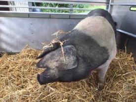 Roberta, a saddleback pig