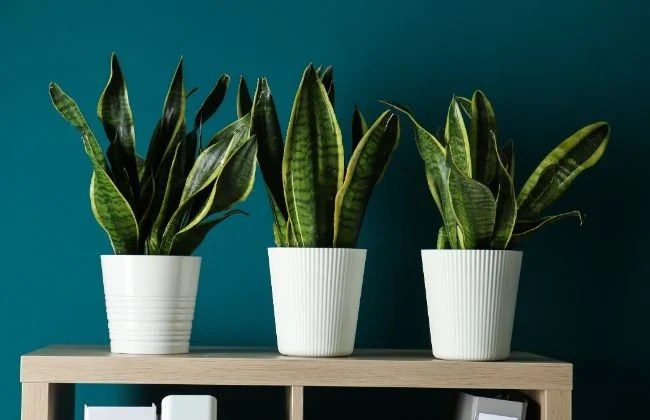 SNAKE PLANTS 7 BENEFITS YOU NEED TO KNOW ABOUT