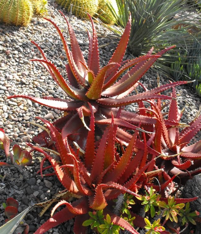 Why Is My Aloe Plant Turning Red? - Smart Garden Guide