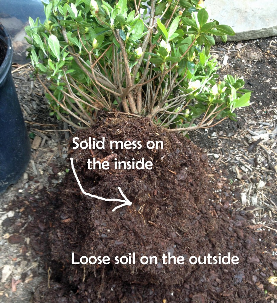 Solid as a rock root ball inside nice loose soil