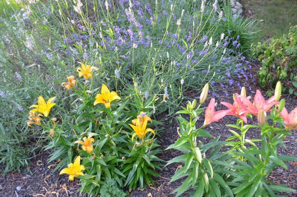 lilies in the front yard