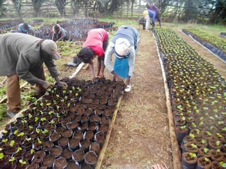Transplanting growing coffee seedlings