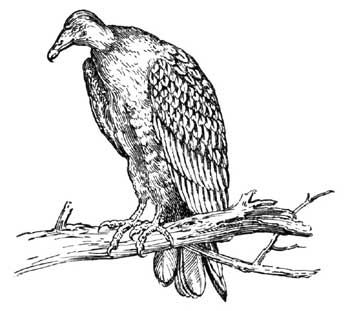HOW THE TURKEY BUZZARD GOT HIS SUIT – Stories the Iroquois Tell Their Children by Mabel Powers