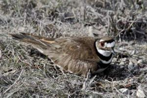 Read more about the article KILLDEER Bird – Birds Information for Kids