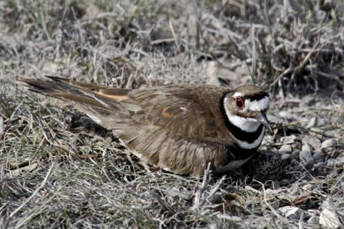 KILLDEER Bird – Birds Information for Kids