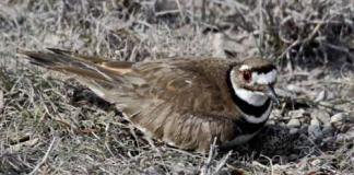 01 KILLDEER Bird Birds Information for Kids