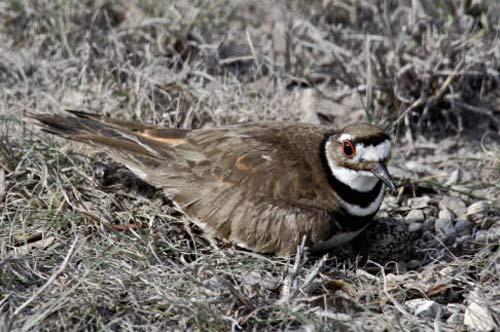 01 KILLDEER Bird Birds Information for Kids
