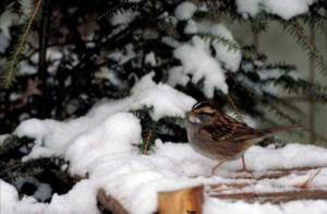WHITE-THROATED SPARROW – Birds for Kids