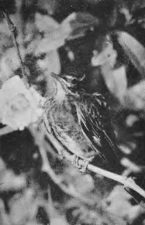 01 american robin