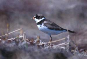 Read more about the article SEMIPALMATED PLOVER – Birds Information for Kids