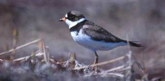 01 Semipalmated Plover