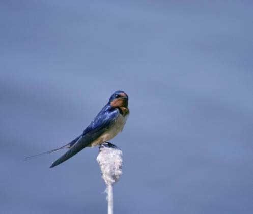 02 Barn swallow