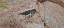 Birds for Kids – SPOTTED SANDPIPER