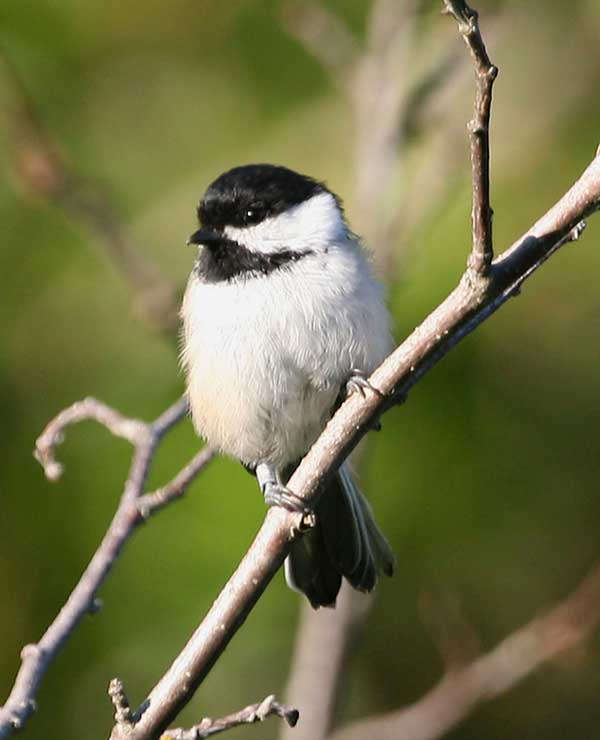 Black Capped Chickadee – Birds for Kids