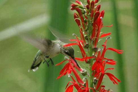 06 Rubythroated Hummingbird 02
