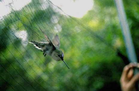 06 Rubythroated Hummingbird