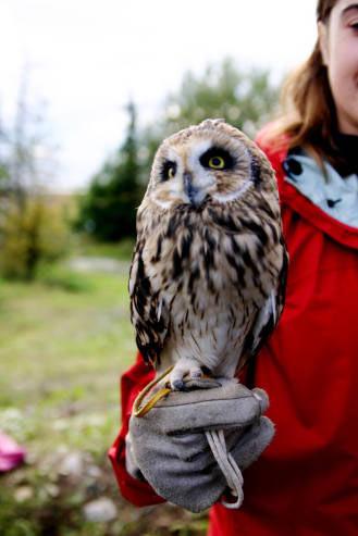 SHORT-EARED OWL, Marsh Owl – Owls for Kids